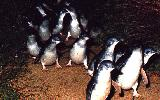 Penguin Parade, Phillip Island (click for enlargement)